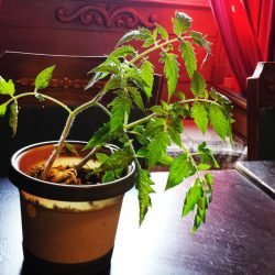 tomato plant from compost